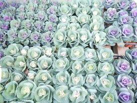 葉牡丹 苗 ハボタン苗 40鉢セット 種類は当店おまかせになります