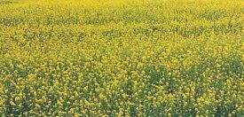緑肥 景観用緑肥 シロカラシ 地力 1kg カネコ種苗