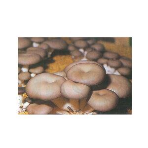 キノコ種菌(種コマ菌) ひらたけ(ヒラタケ) 500駒
