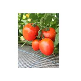 野菜種 調理用トマト パスタ 100粒 カネコ交配