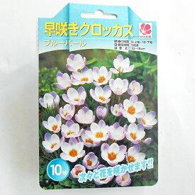 花の大和 早咲き クロッカス 球根 ブルーパール 10球
