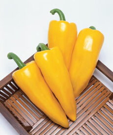 野菜種 ピーマン イエローホルン 500粒
