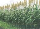 緑肥 ソルゴー ミニソルゴー 1kg カネコ種苗