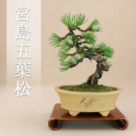 【盆栽 松】 五葉松 - 宮島 - 最高級肥料1年分プレゼント [小品盆栽] いよじ園