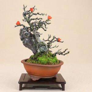 【送料無料】 長寿梅 赤花 一号性 小品盆栽 石付 【雑木盆栽】いよじ園