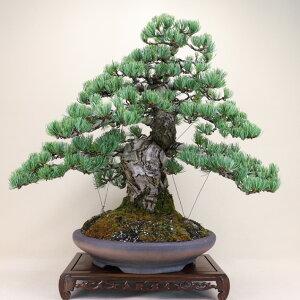 【送料無料】 五葉松 - 宮島 - 大型サイズ 樹齢38年 (松盆栽)いよじ園
