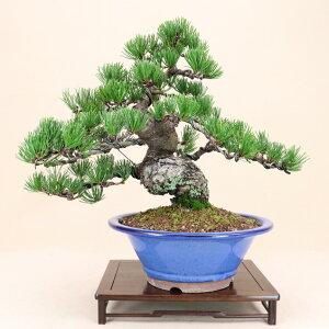 【送料無料】 五葉松 - 宮島 - 中型サイズ 樹齢28年 (松盆栽)いよじ園