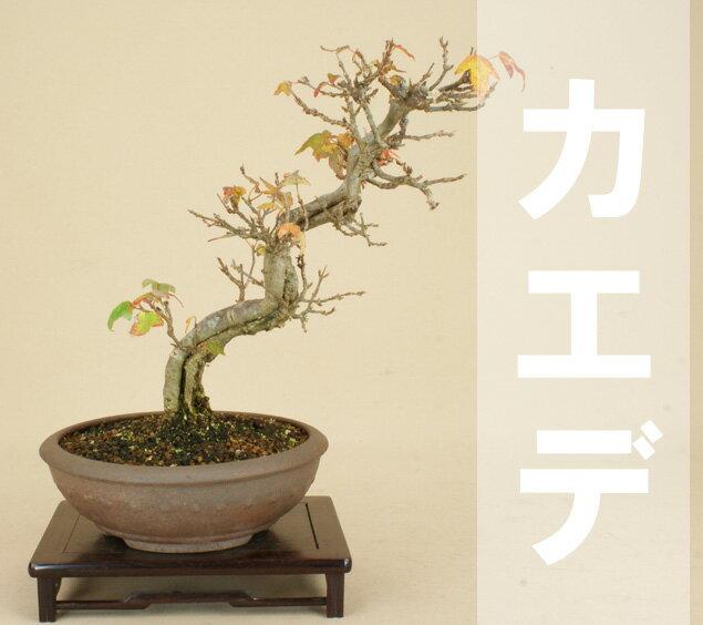 【送料無料】 楓 / カエデ (小品盆栽) 【雑木盆栽 紅葉】【いよじ園 伊予路園】