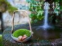 【送料無料】 山苔盆栽 里山の仲間 (コケ盆栽 こけ盆栽 ミニ盆栽)いよじ園
