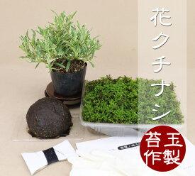 【苔玉盆栽作製キット】 斑入花クチナシ 八重咲 【いよじ園 伊予路園】