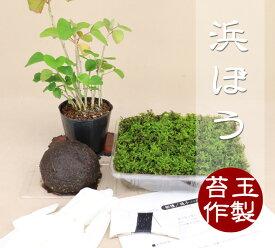 【苔玉盆栽作製キット】 浜ぼう 【いよじ園 伊予路園】