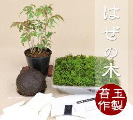 【苔玉盆栽作製キット】 はぜの木 【いよじ園 伊予路園】