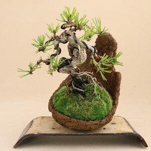 【送料無料】 三河黒松(根上り)素材 小品盆栽 【盆栽 松】いよじ園