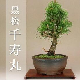 八房黒松 - 千寿丸 - 小品盆栽 (盆栽 松)(いよじ園 伊予路園)