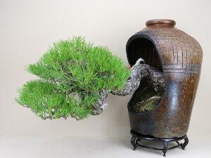 【送料無料】 三河黒松 大型盆栽 鉢(南蛮壺鉢) 【盆栽 松】いよじ園