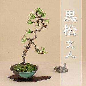 【送料無料】 三河黒松 本格文人造り素材 樹齢10年 [小品盆栽] いよじ園