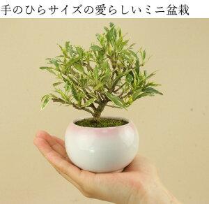 【送料無料】クチナシ/梔子-清誉-(ミニ盆栽)【雑木盆栽】【いよじ園伊予路園】
