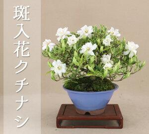 【小品盆栽ミニ盆栽】クチナシ/梔子(清誉)【実物盆栽】【レビューでおまけプレゼント】