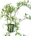 コバノズイナ 白花 高さ約40cm (紅葉も楽しめる木)落葉低木 雑木 ナチュラル おしゃれな庭に 人気の 植木 庭木 ガーデンプランツ ガーデニング 植木組合より産地直送 植木生産組合直営