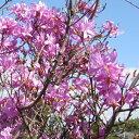 三つ葉つつじ (ミツバツツジ) 高さ約30cm  落葉低木 雑木 里山風の庭に / 人気の 植木 庭木 ガーデンプラ…
