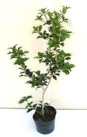 ヒイラギ 高さ約40cm 【洋風でも縁起木を植えよう!】【植木庭木を産直発送!】