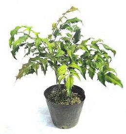 柊南天(ヒイラギナンテン) 高さ約30cm 【洋風でも縁起木を植えよう!】【植木庭木を産直発送!】【RCP】