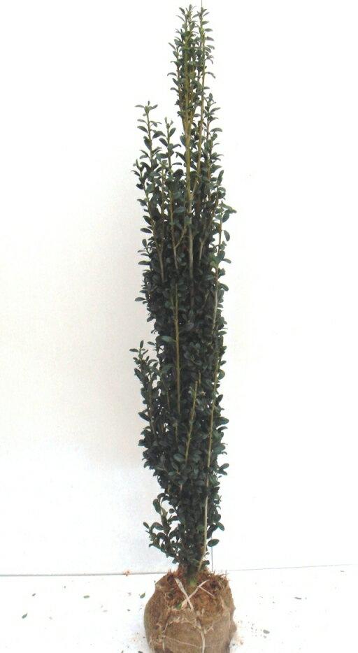 スカイペンシル 高さ約1.2m 6本セット 【幅のとらない目隠し、生垣に★良品植木】