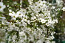 白花ユキヤナギ 高さ約30cm 落葉低木 ホワイトガーデン 早春の花 雑木 ナチュラル おしゃれな庭に 人気の 植木 庭木 ガーデニング 植木組合より産地直送 植木生産組合直営