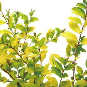 プリペット レモンアンドライム 高さ約30cm 【10本セット】【洋風 生垣添え木に】常緑 半常緑 低木 おしゃれな庭に 人気の 植木 庭木 ガーデンプランツ ガーデニング 植木組