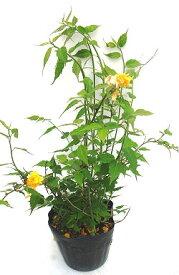 山吹(ヤマブキ) 黄色 高さ約40cm
