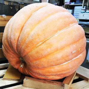 ハロウィン 飾り かぼちゃ カボチャ アトランティックジャイアント 大 1個 生かぼちゃ 巨大 巨大カボチャ ホワイト 特大 白かぼちゃ インテリア オブジェ 置物 屋外 玄関 魔女 かぼちゃの馬