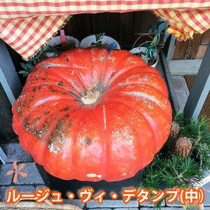 ハロウィン かぼちゃ カボチャ 生かぼちゃ ルージュヴィデタンプ 中 1個 おばけかぼちゃ 特大 飾り 巨大 置物 装飾 オブジェ パンプキン オーナメント 屋外 玄関 オブジェ 花ギフト ポイント