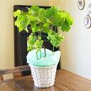 ぶどう 葡萄 【 ブドウ 鉢植え ギフト 巨峰 デラウェア スチューベン 等 送料無料 】 花 高級 ト 詰め合わせ 鉢 デラ…