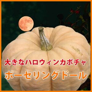 ハロウィン 飾り かぼちゃ カボチャ 【 ポーセリングドール 中 1個 】 生かぼちゃ 巨大 巨大カボチャ ホワイト 特大 白かぼちゃ インテリア オブジェ 置物 屋外 玄関 魔女 かぼちゃの馬車