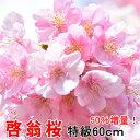 啓翁桜 桜 花束 山形 増量キャンペーン テーブルやリビングに飾りやすい 特級 60cm 15本入り 山形 花ギフト 花 プレゼ…