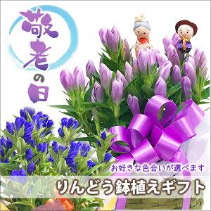 敬老の日 リンドウ プレゼント 鉢植え 色が選べる ブルー ピンク 5寸 5号 りんどう リンドウ 竜胆 敬老の日 お彼岸花鉢 ギフト 花 花束 生花 花ギフト