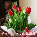 チューリップ 鉢植え 花 ギフト おしゃれ 【 色が選べる チューリップの鉢植え 5号 】 鉢 誕生日 結婚記念日 ホワイト…