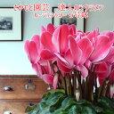 【動画で見る】ルージュシャワー【光彩模様が美しい】開花後は朝8時までの注文分即日...