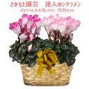 プルマウェーブ【豪華な2鉢仕立て】【11月以降開花後は朝8時までの注文分即日発送】さ...