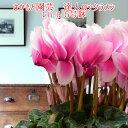 【動画で見る】レハール【珍しいグラデーションカラー】開花後は朝8時までの注文分即...