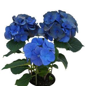 花終わりグリーン 夏色ディープブルー3輪仕立 アンティークアジサイ さかもと園芸 達人のあじさい ディープブルー マナスル 母の日 送料無料 紫陽花 アジサイ 花鉢植え 鉢
