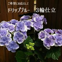ドリップブルー3輪仕立て【さかもと園芸】 達人のあじさい母の日 送料無料アジサイ 紫陽花 花鉢植えギフト プレ…