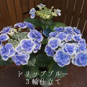 平日朝8時まで注文で即日発送 ドリップブルー3輪仕立て さかもと園芸 達人のあじさい 母の日 送料無料 アジサイ 紫陽花 花鉢植え ギフト プレゼント 群馬の鉢花 カオプストア