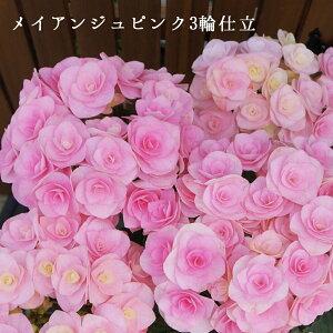 メイアンジュピンク3輪仕立て 母の日ギフト さかもと園芸 達人のあじさい プレゼント 送料無料 アジサイ 紫陽花 花鉢植え 鉢花