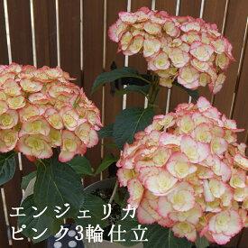 エンジェリカピンク3輪仕立て 母の日ギフト バースデー さかもと園芸 達人のあじさい プレゼント 送料無料 アジサイ 紫陽花 花鉢植え 鉢花