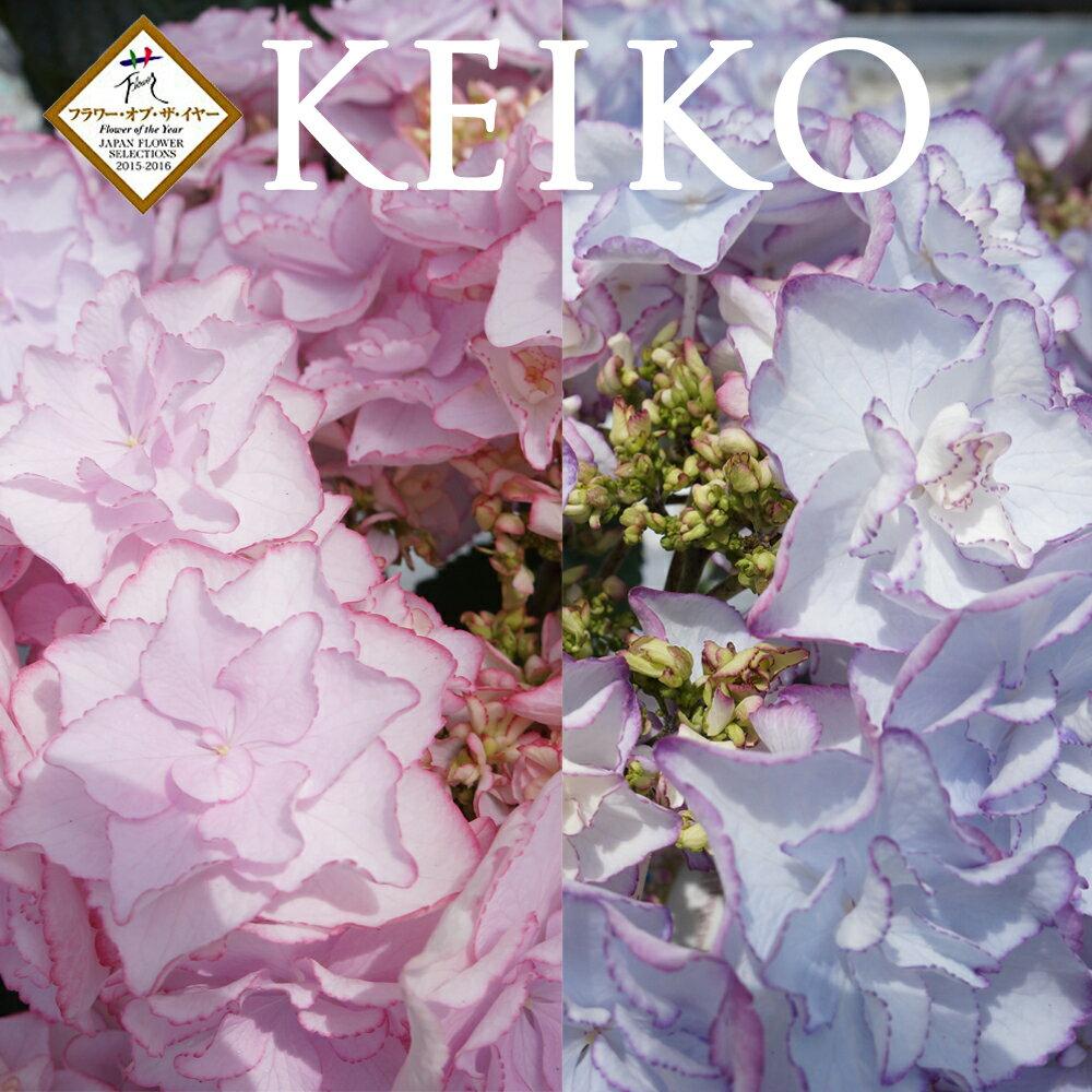 ケイコ3輪仕立て フラワーオブザイヤー受賞 【さかもと園芸】 達人のあじさい ケイコ3輪仕立て 母の日 送料無料 アジサイ 紫陽花 花鉢植え KEIKO ケイコ けいこ 日本最高の花という栄誉 鉢花