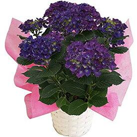 2021母の日ギフト あじさい鉢植え ブルーアース 碧い地球 さかもと園芸 達人のあじさい 色変化を楽しむアジサイ 母の日 送料無料 紫陽花 アジサイ 花鉢植え 鉢花
