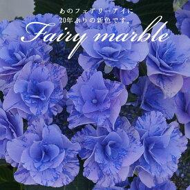 2021母の日ギフト あじさい鉢植え フェアリーマーブル5号鉢 さかもと園芸 達人のあじさい 動画で見れる 送料無料 紫陽花 アジサイ 鉢植え 鉢花 ギフト プレゼント 群馬の鉢花