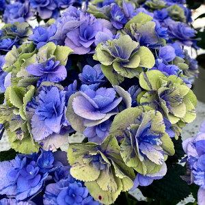 色変わりグリーン 夏色フェアリーマーブル5号鉢 アンティークアジサイ さかもと園芸 達人のあじさい 動画で見れる 送料無料 紫陽花 アジサイ 鉢植え 鉢花 ギフト プレゼント 群馬の鉢花