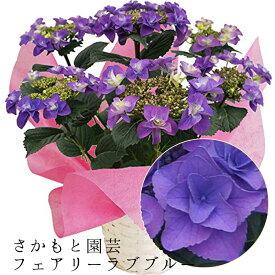 2021母の日ギフト あじさい鉢植え フェアリーラブブルー さかもと園芸 達人のあじさい 動画で見れる 母の日 送料無料 紫陽花 アジサイ 鉢植え 鉢花 ギフト プレゼント 群馬の鉢花